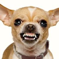chihuahua-aggressivo