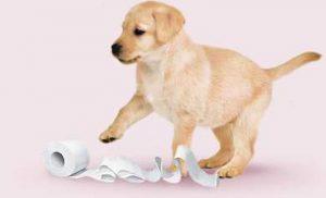 labrador cucciolo con carta igienica