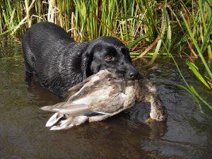 labrador riporta selvagina in acqua