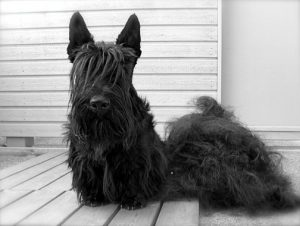 lo stripping, toelettatura particolare dello scotish terrier