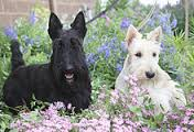 scottish terrier: c'è anche la versione bianca